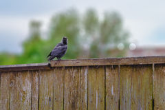 Jackdaw old wooden fence blurry background. Jackdaw sitting on an old wooden fence, on a blurry background of trees and sky Royalty Free Stock Images
