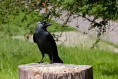 Jackdaw Perched on Old Tree Stump with Food Stock Photos