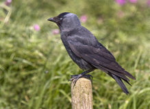 Jackdaw on post stock images