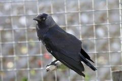 Jackdaw preto do pássaro contra o fundo cinzento fotos de stock royalty free
