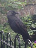 Jackdaw in repose stock image