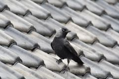 Jackdaw on roof. Blue eyed adult jackdaw bird on black tiled roof stock image