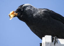 Jackdaw on the roof Stock Photography