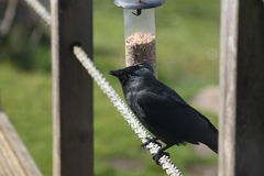 Jackdaw on rope. stock photography