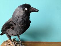Jackdaw, side view close up, with pale eye looking straight at you Stock Photos