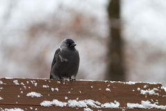 Jackdaw sits on the bench in the park Royalty Free Stock Images