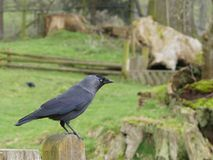 Jackdaw on a fence post Royalty Free Stock Images