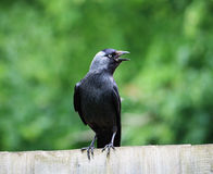 Jackdaw sitting on a fence Royalty Free Stock Photo