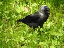 Jackdaw. Sitting in the grass royalty free stock images