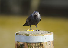 Jackdaw Royalty Free Stock Photos