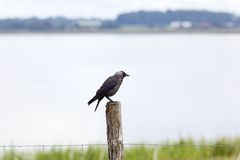 Jackdaw sitting on a wooden pole Royalty Free Stock Photography