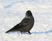 Jackdaw on snow Royalty Free Stock Image