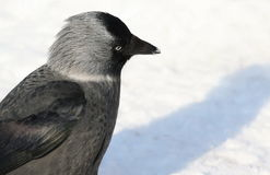 Jackdaw on snow Stock Images