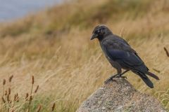 Jackdaw standing on a rock. A stunning Jackdaw Corvid on the cliffs on Lands end, the piercing blue eyes on these birds never cease to amaze me royalty free stock image