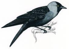 Jackdaw sur un branchement (monedula de Corvus) Images stock