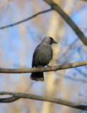 Jackdaw on a tree Royalty Free Stock Photography