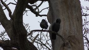 Jackdaw on a tree. A couple of black birds. stock video footage