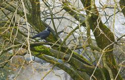 Jackdaw in a Tree Stock Photos