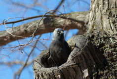 The jackdaw in a tree hollow Stock Photo