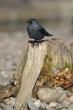 Jackdaw on tree stump Royalty Free Stock Photography