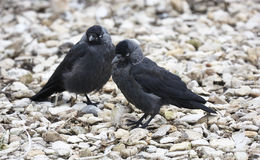 Jackdaw Stock Images