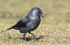 Jackdaw. Walking in the grass Stock Photos