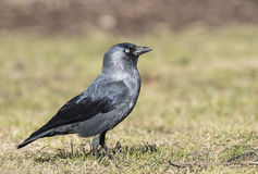 Jackdaw. Walking in the grass Royalty Free Stock Image