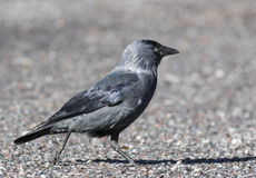 Jackdaw. Walking in the tarmac Stock Images