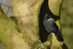 Jackdaw, watching of lovely birds Royalty Free Stock Photography
