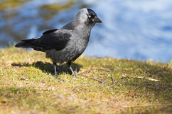 Jackdaw at the waterside in spring Royalty Free Stock Image