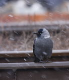 Jackdaw in winter storm Stock Photos