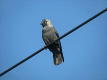 A jackdaw on a wire Stock Image
