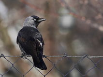 Jackdaw on wire fence Royalty Free Stock Images