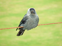 A Jackdaw on wire looking forward Royalty Free Stock Photo