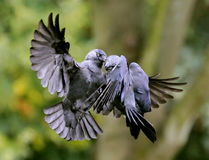 jackdaws fotos de stock royalty free
