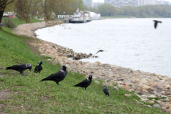 Jackdaws. Birds crows on the banks of the river royalty free stock photo
