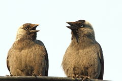 Jackdaws at a chat Stock Photos