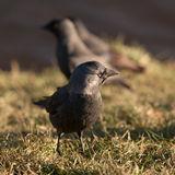 Jackdaws closeup Royalty Free Stock Photo