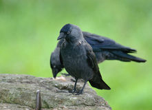 Jackdaws Corvus monedula Royalty Free Stock Photos