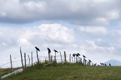Jackdaws, crows standing on a fence - Durmitor, Montenegro Royalty Free Stock Photo