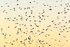 Jackdaws do voo nas silhuetas Foto de Stock
