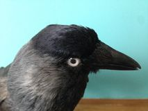 Jackdaws head side view close up, with pale eye looking straight at you Royalty Free Stock Images