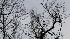 Jackdaws in leafless tree in Voorst, Holland stock footage