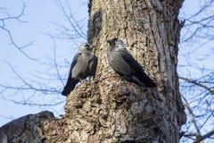 Jackdaws na drzewie Fotografia Royalty Free