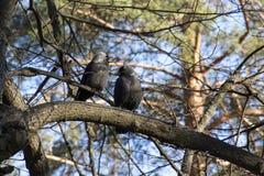 Jackdaws na drzewie zdjęcie stock