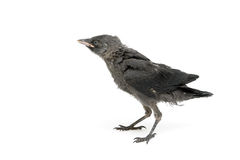 Jackdaws nestling close-up isolated on a white background. Stock Photography