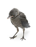 Jackdaws nestling on a white background close-up Stock Photos
