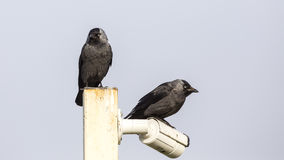 Jackdaws on Post Stock Images