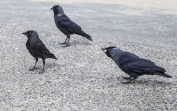 Jackdaws on the road Royalty Free Stock Photography
