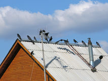 Jackdaws on roof Stock Photo